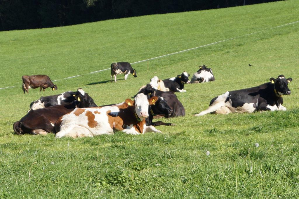 Kühe von unserem Nachbarn vlg. Haidacher